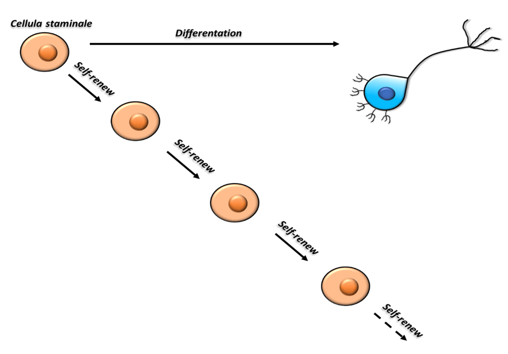 cellule staminali: autorinnovamento, differenziamento.