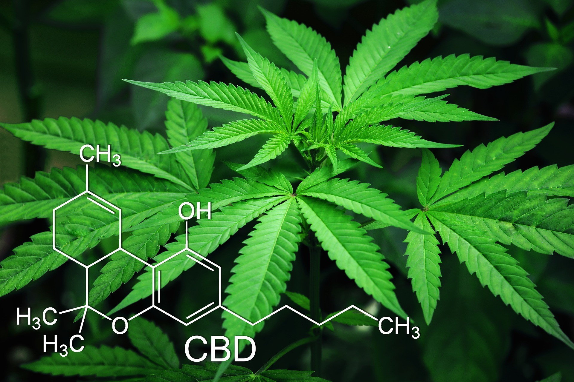 cannabis medicale